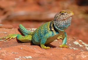 Eastern Collered Lizard