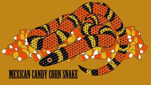 Mexican Candy Corn Snake